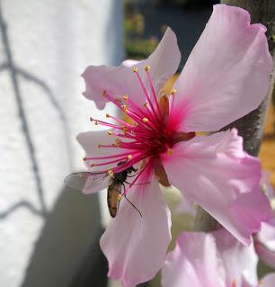 アーモンドの花とハナアブ