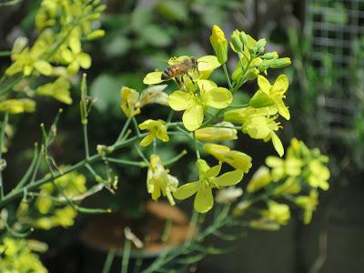 芽キャベツの花とミツバチ。