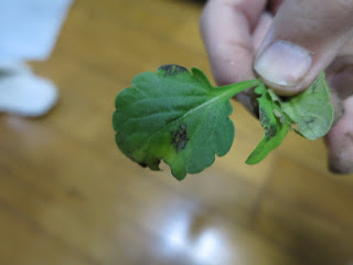 ビオラの葉に黒い斑点。