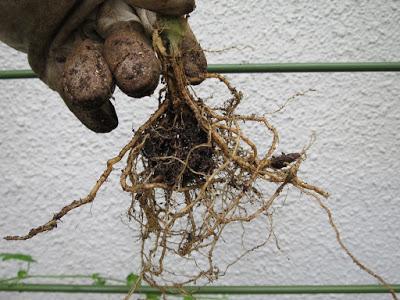 レモンメロンの根。少なすぎ。