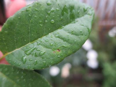 薬剤散布後の葉。