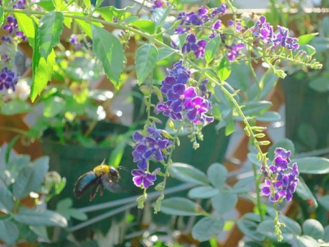 デュランタの花にクマバチ。